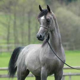 http://www.horsesoftheworld.com/images/fotografie/almilan.jpg